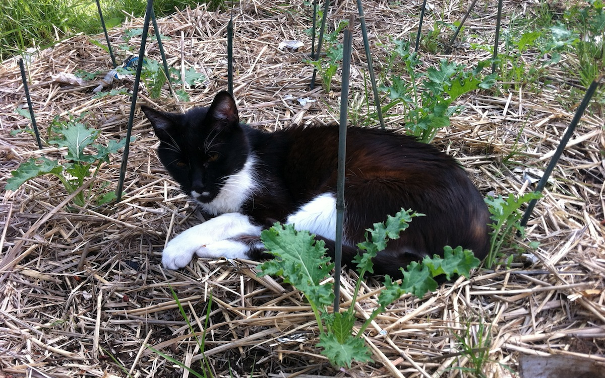 Cat on Sheet Mulch Among Seedlings