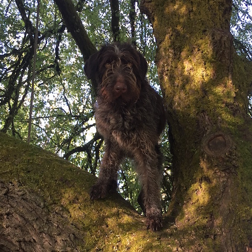 German wirehaired pointer in a tree